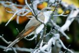 Cuckoo_Yellow-billed