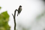 Flycatcher_Olive-sided
