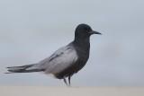 Tern_Black