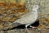 Dove_Eurasian Collared