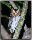 Visayan Lowland Scops Owl