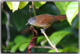 Brown Tit-babbler