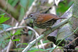 Streaked Ground-babbler