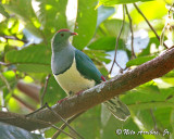 Cream-bellied Fruit-dove