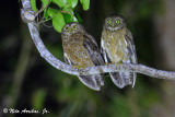 Cebu Hawk-Owl