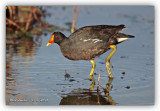 common_moorhen