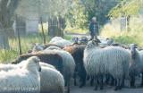 Schaapsherder met  kudde