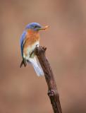 Merlebleu de l est ( Eastern Blue bird)