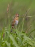 Bruant de Nelson (Nelson's Sparrow)