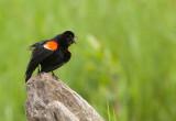 Carouge a épaulettes ( Red-winged Blackbirk)
