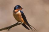 Hirondelle rustique ( Barn Swallow )
