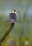 Guifette noire (black Tern)