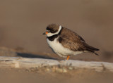 Pluvier semipalmé  ( Semipalmated Plover )