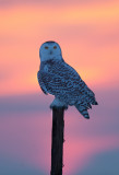 Harfang des neiges ( Snowy Owl )