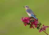Merlebleu de l est ( Eastern Blue bird)  fem.