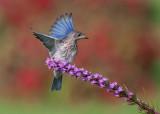 Merlebleu de l est ( Eastern Blue bird)  Juv.