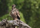 Pygargue a tête blanche immature ( bald Eagle )
