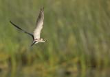 Guifette noire (black Tern) juv