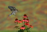Merlebleu de l est ( Eastern Blue bird) juv