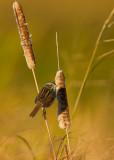 Bruant des marais ( swamp sparrow)