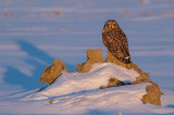 Hibou des marais(Short-eared Owl)