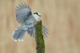 Mésangeai du Canada (Gray Jay)