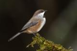 Mésange a tête brune (boreal chikadee)