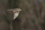 Busard Saint-Martin (Northern Harrier)