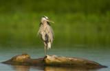 Grand héron ( Great blue heron )