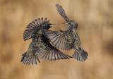 Etourneau sansonnet (European Starling)
