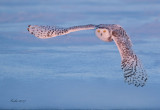 Snowy Owl (Harfang des neiges)