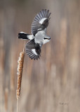 Northern Shrike ( Pie-grièche grise )