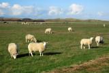 Baaiduinen schapen