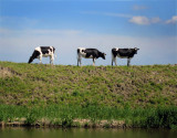 Cows on the dyke