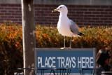 Liberty Island gull