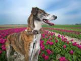 Tip-toe thru' the tulips