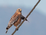 Red-shouldered Hawk and blackbird 1