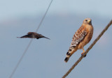 Red-shouldered Hawk and blackbird 2