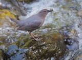 Birds -- Yuba Pass and Sierra Valley, June 2013
