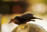 Eurasian Blackbirds passing item, London, July 2013