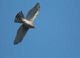 Cooper's Hawk, juvenile, flying