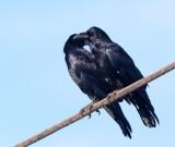 American Crows, pair