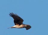 Northern Harrier, juvenile