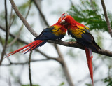 Scarlet Macaw Pair, Osa Peninsula, Costa Rica, January 17, 2014
