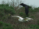 Great Egret flying with vole, pursued by American Crow