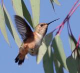 Selasphorus Hummingbird, female