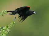 Red-winged Blackbird, Bicolored male, taking off