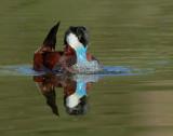 Ruddy Duck, male bubbling