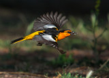 Bullock's Oriole, male carrying courtship offering