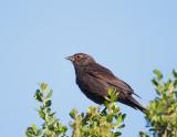 Red-winged Blackbird, female Bicolored
